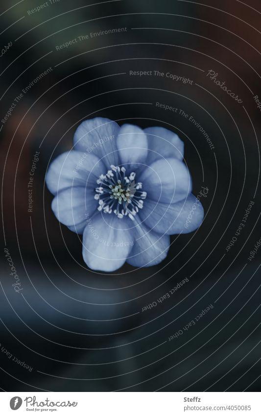 blaues Leberblümchen Siebenbürger Leberblümchen Hepatica transsilvanica Frühlingsblume Zierpflanze Frühblüher blaue Blume blühende Blume