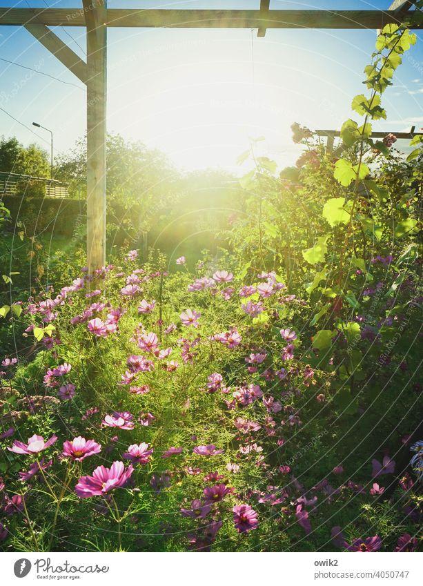 Leuchtgarten Sonne Pergola grün Grünpflanze Tageslicht Idylle Blume schönes Wetter Leben Cosmea Schmuckkörbchen hell Landschaft Wildpflanze Cosmeablüte Licht