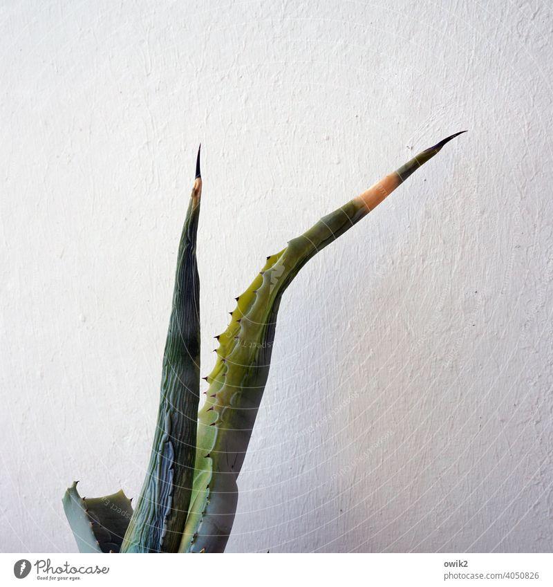 Alte Agave Detailaufnahme Außenaufnahme stachelig Spitze fest exotisch Pflanze Natur Strukturen & Formen Textfreiraum rechts Textfreiraum links