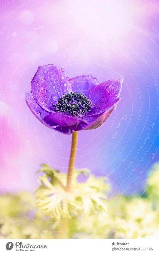 Makro Aufnahme einer violetten Kronen Anemone Blume lila Blüte Pflanze Blühend Natur Schwache Tiefenschärfe Garten Nahaufnahme Makroaufnahme Frühling Anemonen