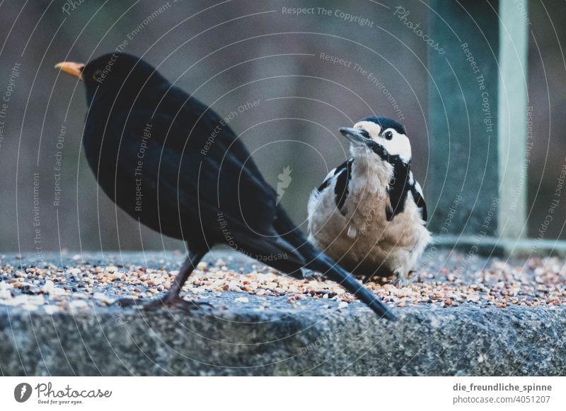 Buntspecht und Amsel an Futterstelle Vogel fliegen Frühling Ast Tier Außenaufnahme Natur Feder Garten klein Nahaufnahme Winter Schnabel wild schön Tierwelt