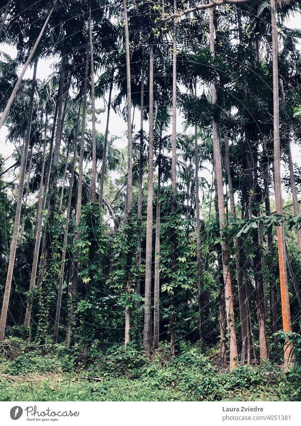 Zwischen den Bäumen Palme Palmen Tropen exotisch Pflanze Palmenwedel Baum Handfläche Natur Blatt Holz tropisch tropisches Klima Schönes Wetter Sommer
