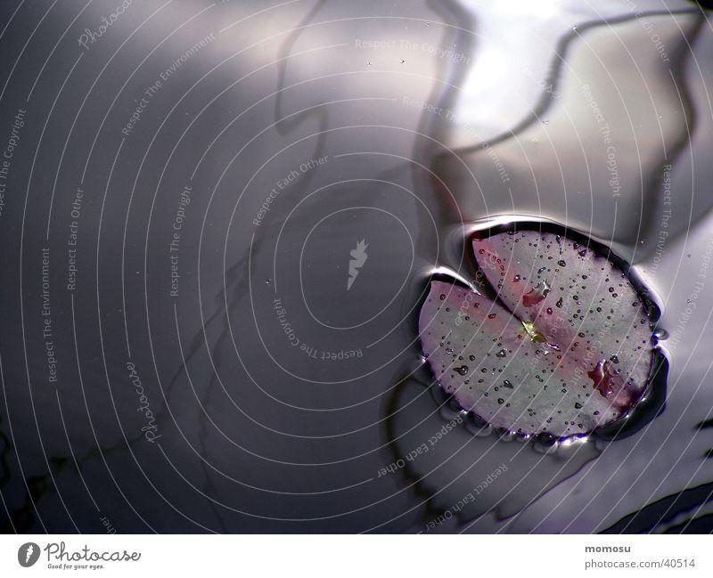 seerose Teich Pflanze Seerosen Licht Reflexion & Spiegelung Wasser