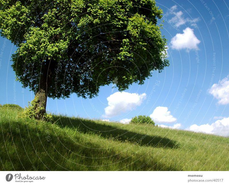 kugelbaum Himmel Baum Wolken Wiese Gras Frühling