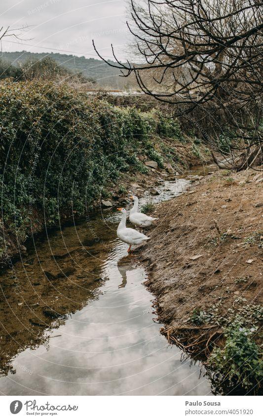 Gänse auf dem Fluss Hausgans Gänsevögel Bauernhof Nutztier Federvieh Natur Vögel Schnabel Farbfoto Tierporträt Vogel Außenaufnahme Schwarm Tierhaltung