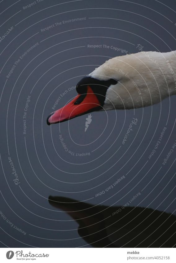 Ein Schwan bestaunt seinen Schatten See Wasser Tier schwimmen Eleganz Schnabel Vogel dunkel Natur Hals Reflexion & Spiegelung Blick Schwäne Gegensatz Teich