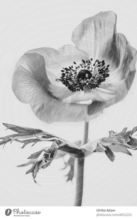 Anemone ganz groß in schwarzweiß filigran zart Windröschen Anemone coronaria Kronen-Anemone elegant Design Wellness harmonisch Zufriedenheit Erholung Meditation
