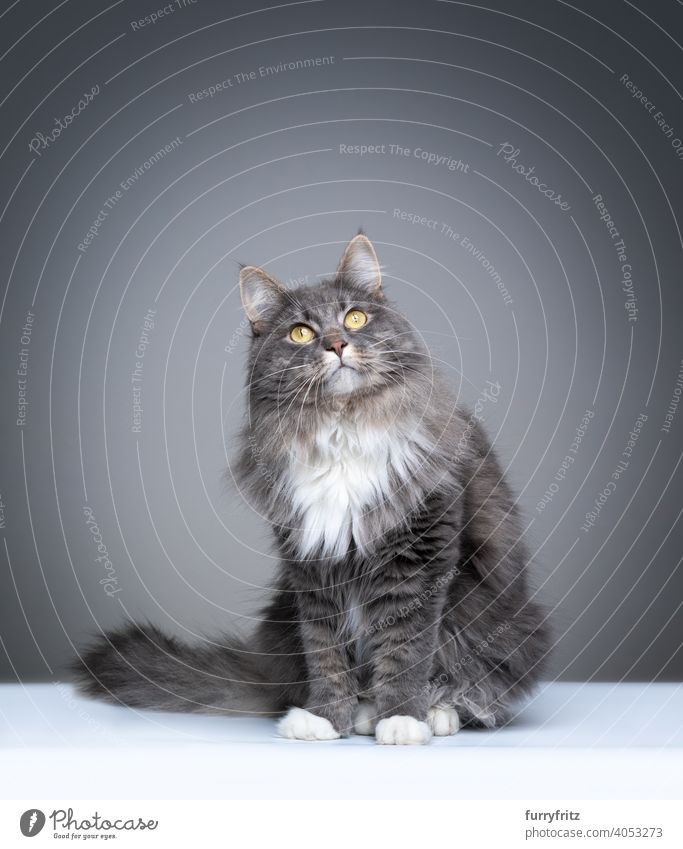 blau gestromte Maine Coon Katze auf grauem Hintergrund mit Kopierraum Ein Tier im Innenbereich Studioaufnahme Textfreiraum fluffig Fell katzenhaft Rassekatze