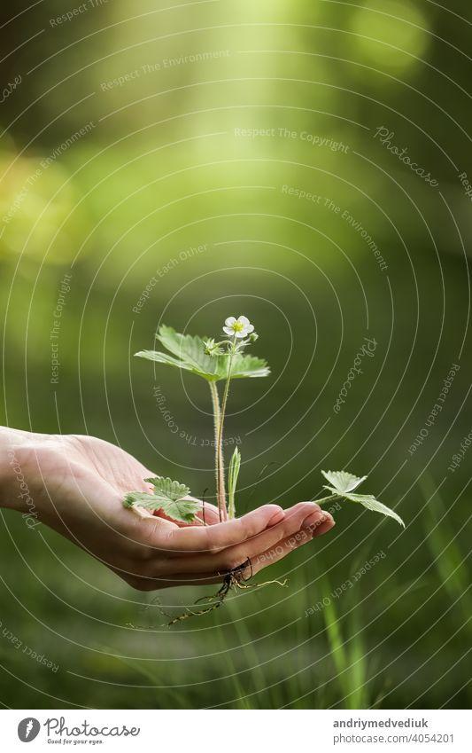 Umwelt Earth Day In den Händen der Bäume wachsen Sämlinge. Bokeh grüner Hintergrund Weibliche Hand hält Baum auf Natur Feld Gras Wald Erhaltung Konzept Erde