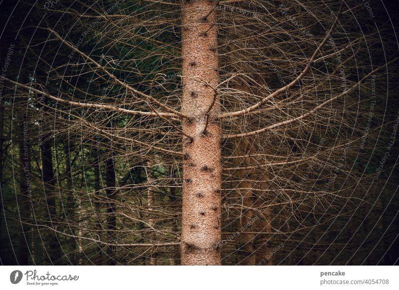 ungesund | leerstand Fichte Baumstamm Trockenheit Wassermangel abgestorben Waldsterben Klimakrise Klimawandel Tod vergänglich Natur Holz Leerstand Äste Umwelt