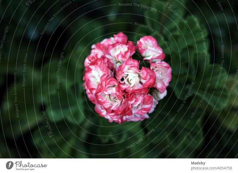 Geranie oder Pelargonium mit Blüten in Weiß und Rosa in einem Bauerngarten in Rudersau bei Rottenbuch im Kreis Weilheim-Schongau in Oberbayern Pelargonie Blume