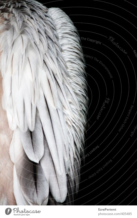 gefedert Umwelt Natur Tier Wildtier Vogel Flügel 1 ästhetisch exotisch natürlich schön schwarz weiß Strukturen & Formen Feder Pelikan ruhig weich Wasservogel
