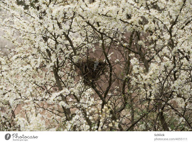 Liebesnest   Vogelnest im Frühling mit vielen Blüten des Schlehdorns Nest blühen unbewohnt leer April Jahreszeit Natur Unschärfe Frühlingsgefühl natürlich