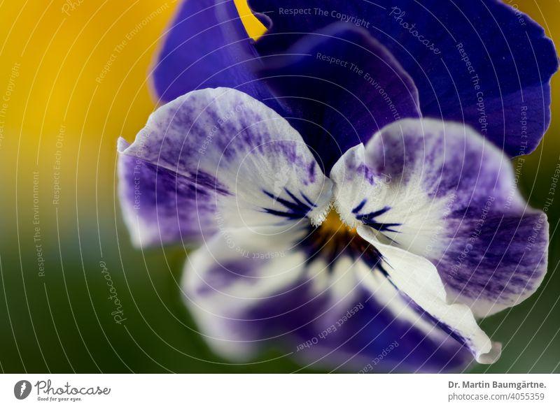 Viola cornuta, Stiefmütterchen, blaue Sorte Hornveilchen Violaceae Frühjahrsblüher Blume Blüte Staude Pflanze Veilchengewächse