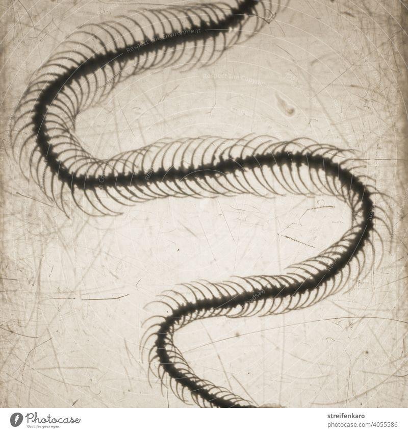 Was am Ende übrig bleibt.... Ausschnitt aus dem Präparat eines Schlangenskeletts Tier Skelett tot alt Natur vergänglich Vergänglichkeit untersuchen Untersuchung