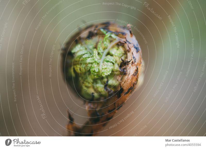 Makroaufnahme eines jungen Farnsprosses mit selektivem Fokus Wurmfarn Spirale Blütenknospen Unschärfe Raum Kopie Frühling Flora Selektiver Fokus Leerkopie