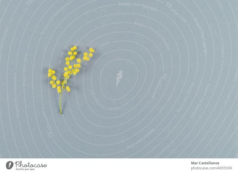 Mimosenblüte auf grauem Hintergrund. Ansicht von oben. Platz zum Kopieren. Blume Farbe des Jahres gelb blumig Textfreiraum Draufsicht Akazie Blatt grün