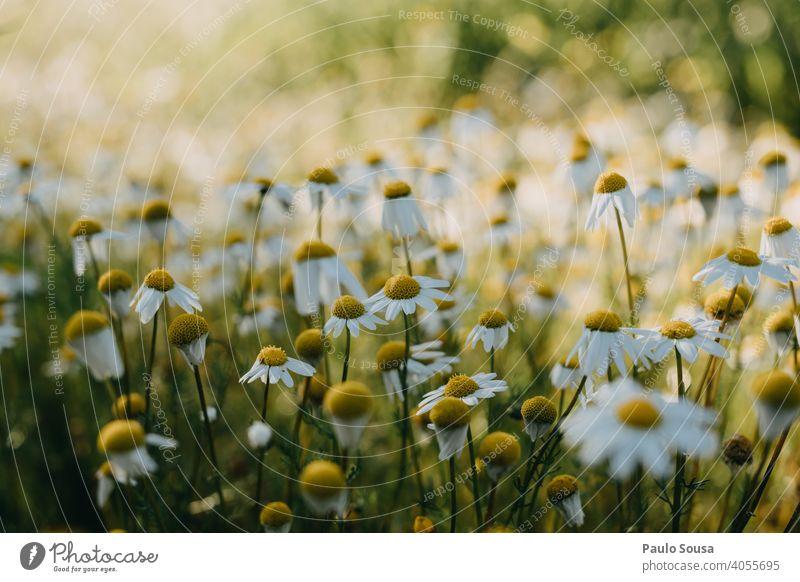 Nahaufnahme wilde Gänseblümchen Wildpflanze Margeriten Frühling Frühlingsgefühle Frühlingsblume Blume Natur Pflanze Garten Blühend Blüte Farbfoto gelb Sommer