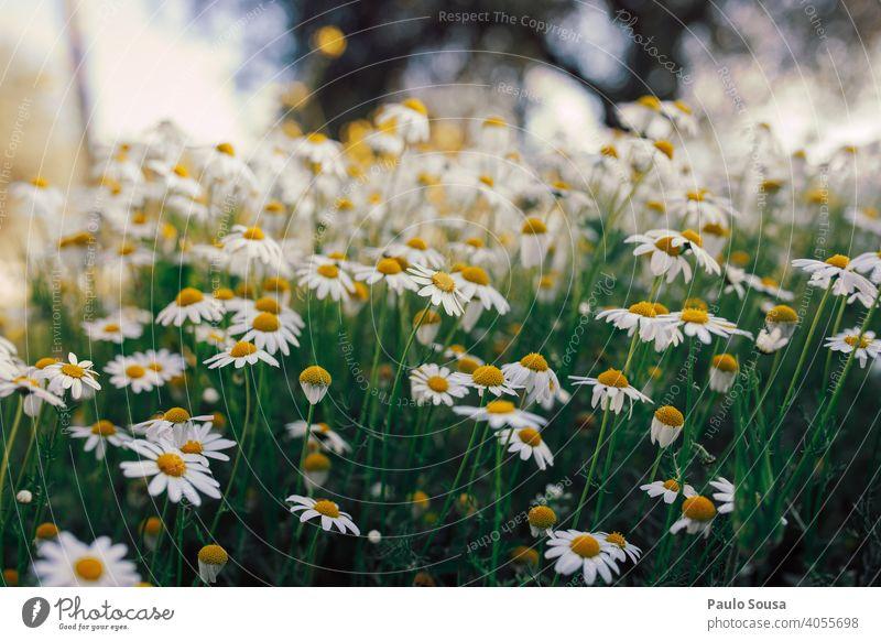 Wildes Gänseblümchenfeld Korbblütengewächs Blume Blumenwiese Frühling Frühlingsgefühle Frühlingsblume gelb grün Garten Blühend Pflanze Blüte weiß Wiese Natur
