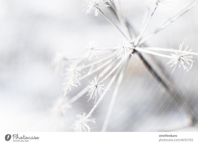 Frostiges Detail einer vertrockneten Pflanze im Winter abgestorben kalt Eis weiß Natur Schnee Außenaufnahme Umwelt gefroren Farbfoto Detailaufnahme Nahaufnahme