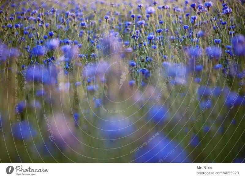 Kornblumen Natur Landschaft Sommer Umwelt Blumenwiese Wärme Wildpflanze Wiesenblume Duft sommerlich Blüte Sommertag frisch grün Wachstum Gras Feld Idylle Licht