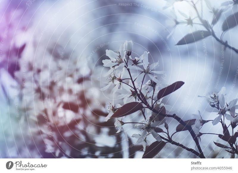 Frühlingszweig Blütezeit Frühlingserwachen Ostern weiße Blüte April Stimmungsbild Saison zarte Blüten weiße Blüten Frühlingsbote traumhaft malerisch idyllisch