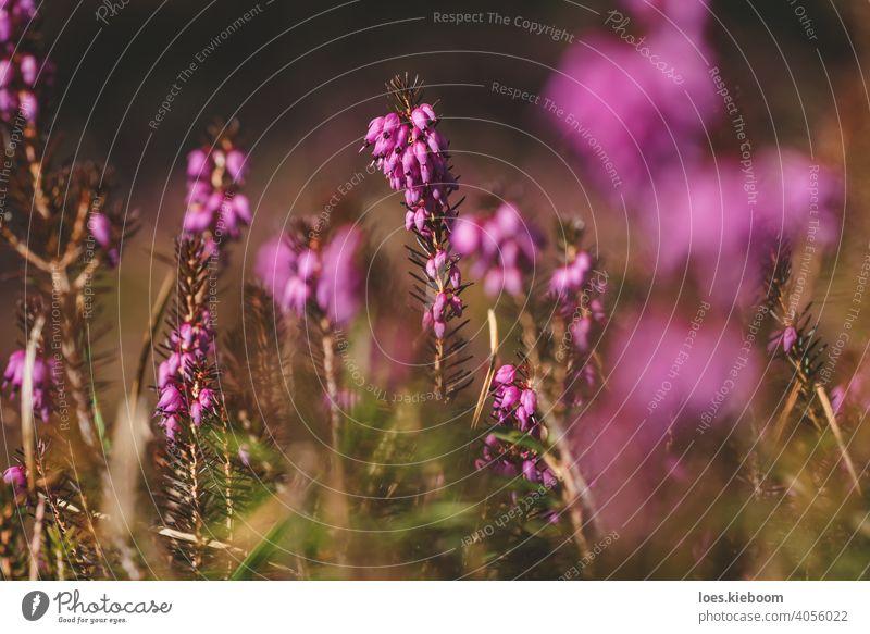 Winterheide, Erica carnea, mit leuchtend rosa Blüten auf dem Waldboden im Frühling, Österreich Heidekraut Blume geblümt Erica Carnea purpur Natur Sonne Blatt