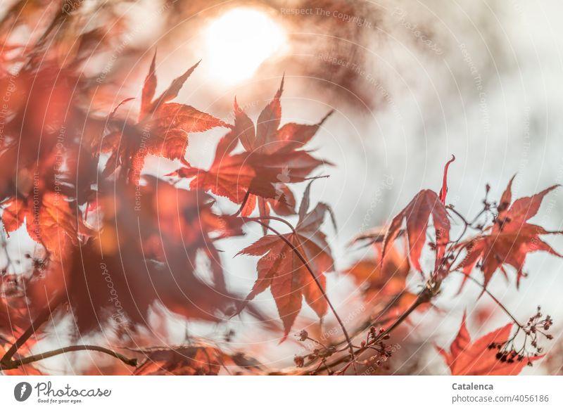 Neue Blätter des Spitzahorns im Frühling Natur Flora Pflanze Baum Blatt Laub Ahorn Sonne Himmel Wolken wachsen Garten Tag Tageslicht Jahreszeit Ahornblatt
