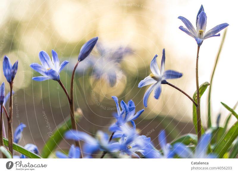 Im Frühling blüht das Blausternchen verblühen Natur Pflanze Flora Blume Blütenblatt Garten Tag Tageslicht Lila Violett Grün wachsen Orange Himmel Zwiebelblüher