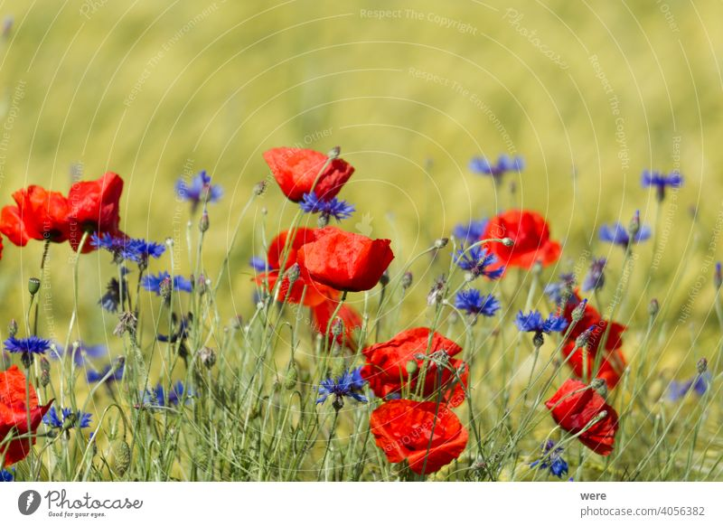 Poppies and cornflowers in a wheat field agricultural area blooming Blossoms copy space Field winds bloom Herb landscape meadow herb nature nobody
