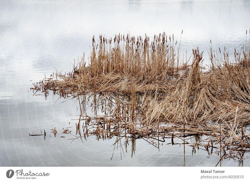Trockene Typha Latifolia-Blüten, auch Rohrkolben genannt Dnjepr Kiew Sumpf Ukraine breitblättrig Breitblättriger Rohrkolben braun bulrush Katzenschwanz kalt