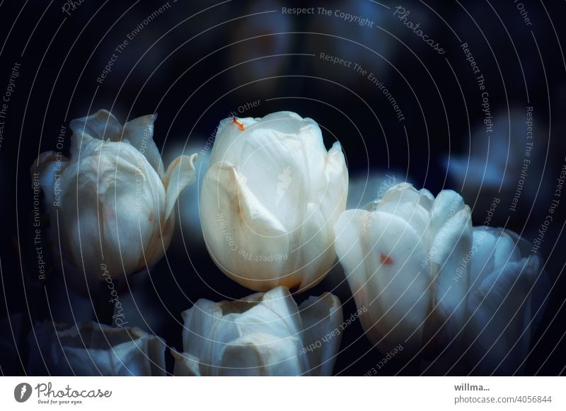 Weiße Tulpen weiß blühen Frühling Blume Tulpenblüte Blühend