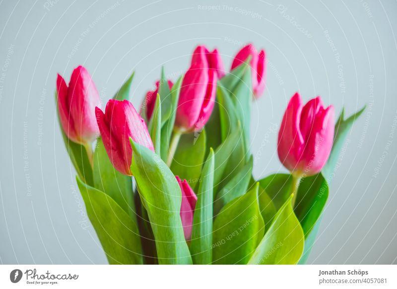 pinke Tulpen zum Muttertag Blumen Liebe Nahaufnahme Valentinstag Vase drinnen rosa rosa Tulpen rot Muttertagsgeschenk valentinsgruß Valentinshintergrund