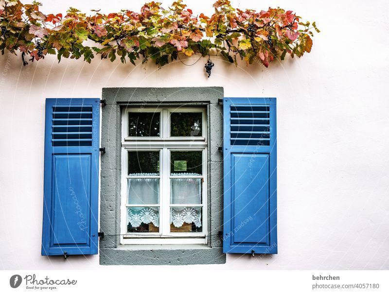 hauswein Menschenleer Kletterpflanzen Mauer bewachsen Wand Farbfoto Außenaufnahme Gardine Fassade Fenster Haus Häusliches Leben Gebäude Wein Ranke Pflanze