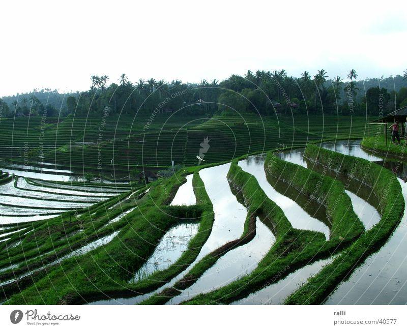 Reisterrasse Indonesien Bali Reisfeld