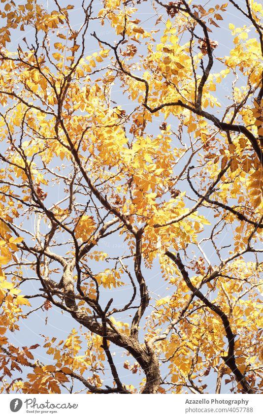 Unteransicht von Baumzweigen im Herbst. Baumzweige mit gelben und orangefarbenen Blättern abstrakt Kunst Hintergrund schön Schönheit Ast hell Farbe trocknen