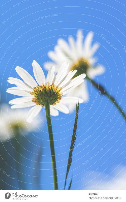 Sommererinnerung Margeriten Wiesenblume weiß blauer Himmel träumen Blume ästhetisch lieblich himmelblau Froschperspektive Sommertag schönes Wetter warm grün
