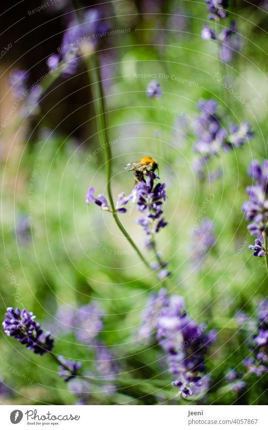 Lavendel und Hummel im Garten Lavendelblüte Lavendelduft lila gelb grün Insekt Insekten Nahaufnahme Tier Tierporträt Tierfotografie Natur Pflanze Sommer