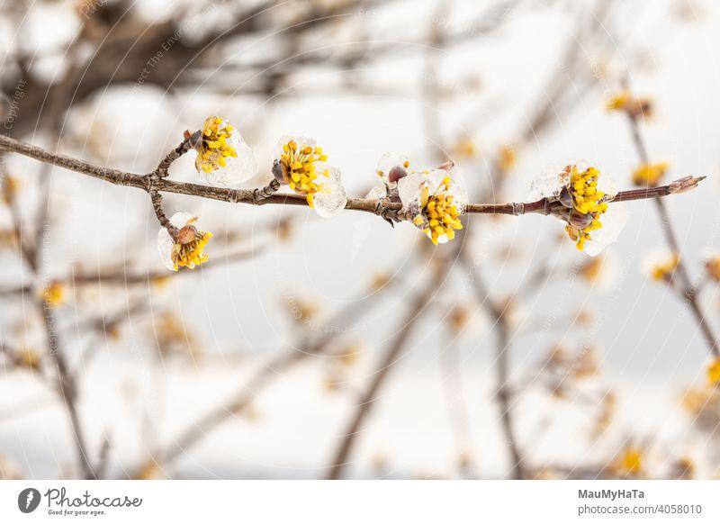 Hartriegel blühte unter einer Eiskappe Baum Wolken Natur Hügel Feld Schnee nur Winter Blüte Frühling