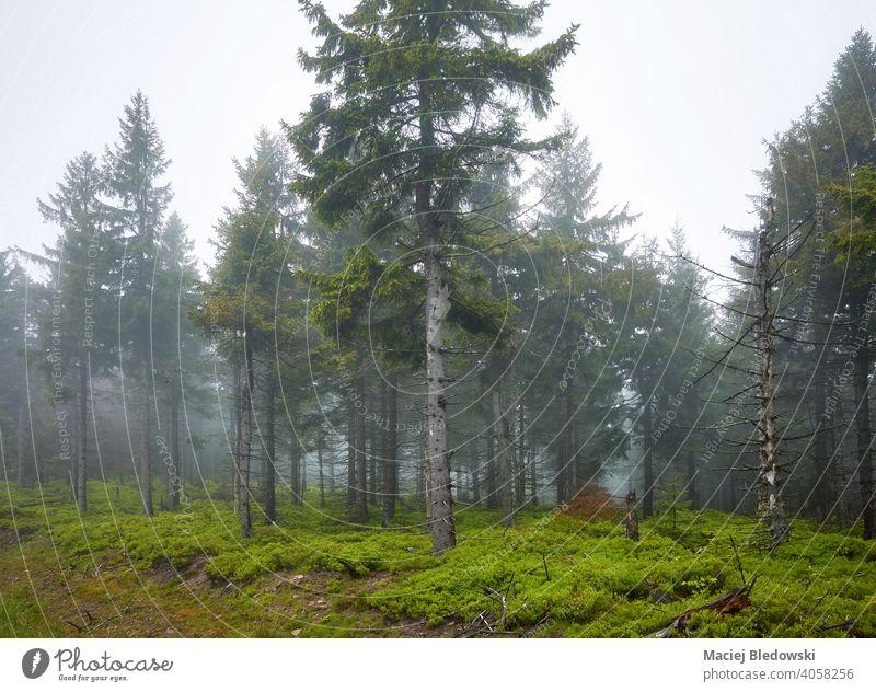 Dunkler Wald an einem regnerischen, nebligen Tag. Natur Nebel geheimnisvoll Landschaft Wildnis dunkel grün Wetter Regen Baum Umwelt Wälder Morgen natürlich