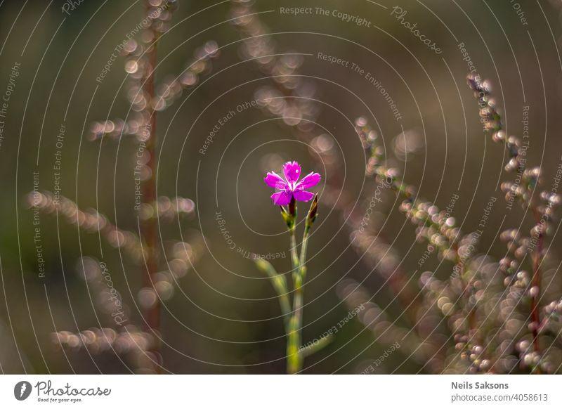 kleine violette Wiesenblume, schönes Bokeh von Gras im Hintergrund Blume Sommer Frühling Natur Pflanze Garten Blüte Blühend grün Ringe Gelassenheit Zentrum rosa