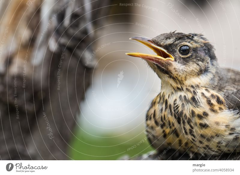 Eine kleine Drossel sitzt  im Baum und trällert ein Lied Singvogel Vogel Tier Außenaufnahme Tierporträt Schwache Tiefenschärfe Farbfoto Wildtier Menschenleer