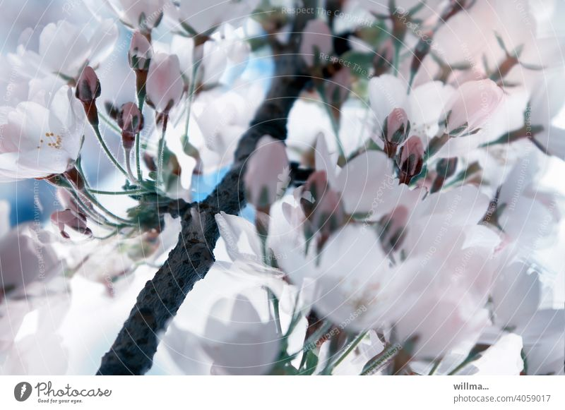 Frühlingsblütentraum Kirschblüten blühen Blüten zart Blühend schön weiß rosa Knospen Blütentraum Zweig Blütenzweig japanische Kirsche Mandelblüte Mandelbaum