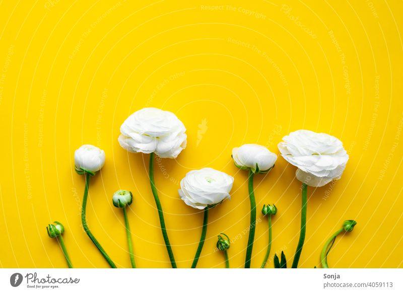 Weiße Ranunkeln auf einem gelben isolierten Hintergrund. Flat lay. weiß gelber hintergrund Frühling Design Stil Hintergrundbild Natur Blume Blatt Blüte Pflanze