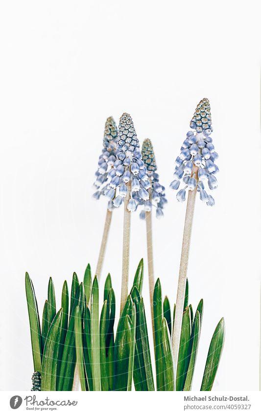 blaue Frühlingsboten Blume Pflanze Zierpflanze schön ruhig flower plant calm quiet grün green still stillleben deko hyazinthe hiaycinth strauß strauss topf hell