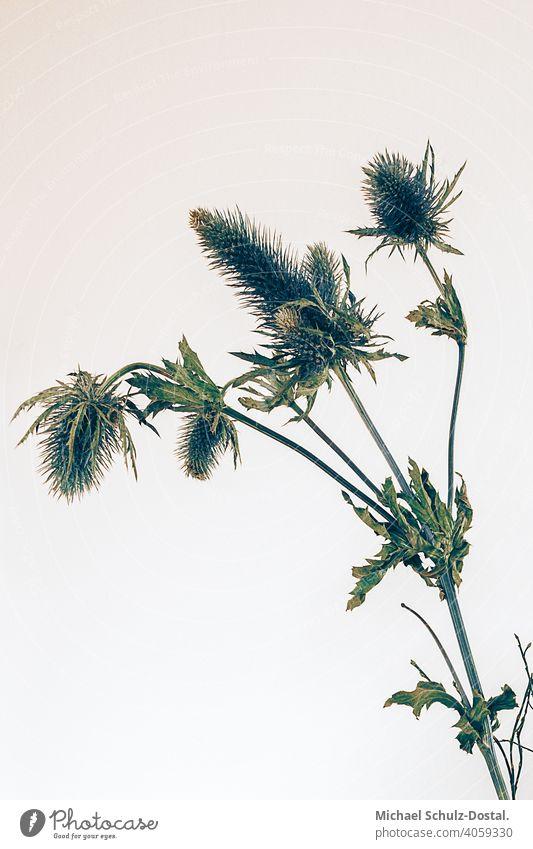 Distelstrauch vor heller Wand Blume Pflanze Zierpflanze schön ruhig flower plant calm quiet grün green still stillleben deko distel strauß grüntannengrün