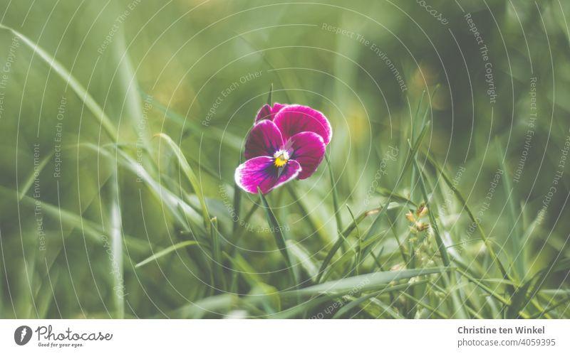 violettes Hornveilchen ganz alleine auf der Wiese Viola cornuta Blume Pflanze Blüte Frühling Natur schön grün Nahaufnahme Blühend Schwache Tiefenschärfe