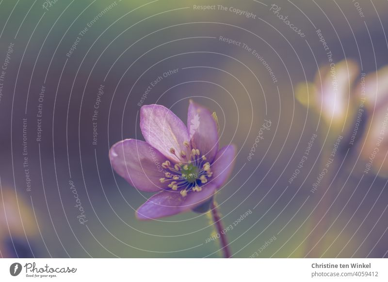 Leberblümchen lila violett Natur Blume Frühling Blüte Unschärfe Kartenmotiv Frühlingsbote Frühblüher Licht wunderschön Frühlingsblume Schwache Tiefenschärfe