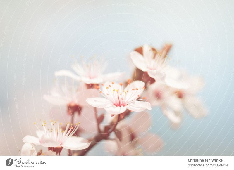 Zarte Blüten im Frühling Frühlingsblüten Pflaumenblüte Pflaumenbaum blühend Baumblüte Frühlingsgefühle Frühlingsfarbe Frühlingsbote rosa hellblau