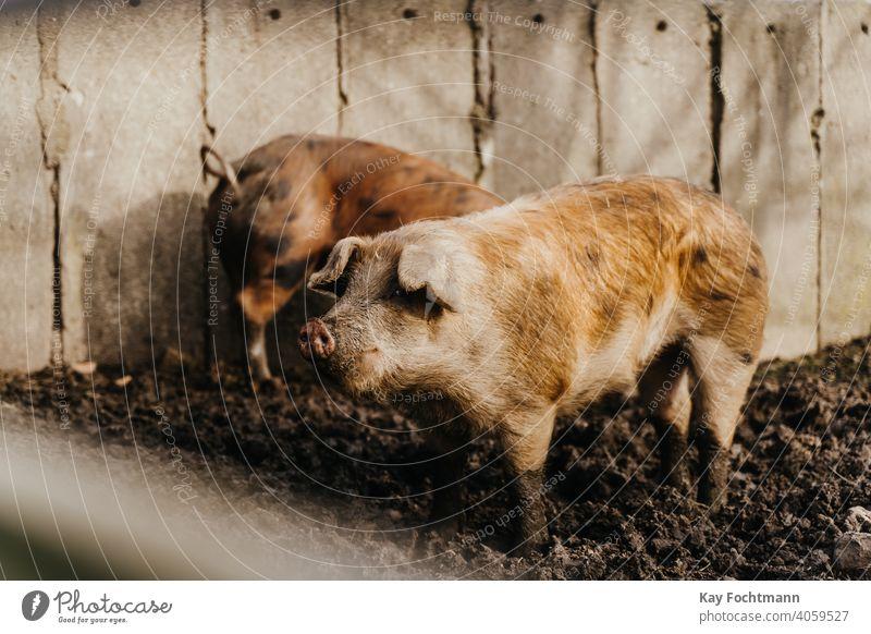 zwei Schweine stehen im Schlamm landwirtschaftlich Ackerbau Tier Tierrechte Scheune Landschaft Bodenbearbeitung niedlich heimisch Bauernhof Landwirt